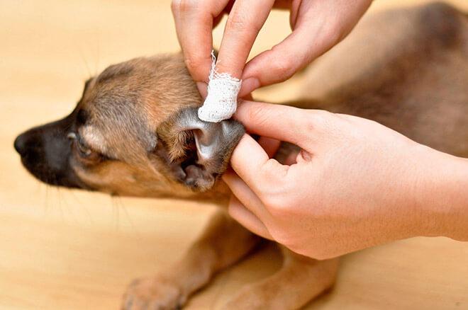 Профилактика болезней ушей у собак