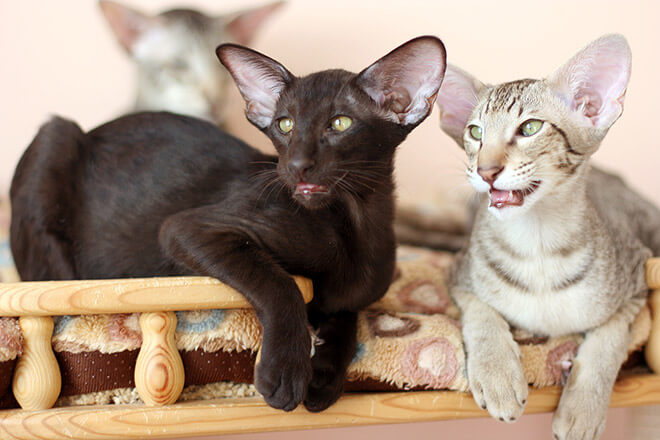 кошка ориентальной породы
