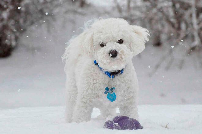 Породы мелких собак с белой шерстью