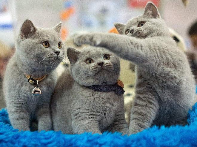 Уход за голубым британским котенком