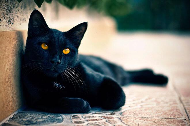 Список пород черных котов