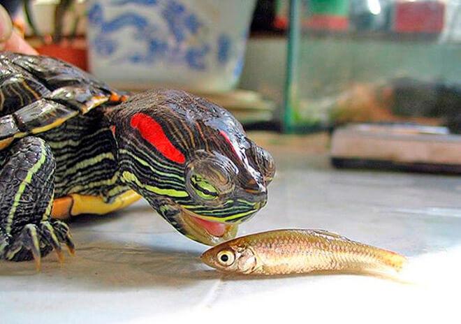 Как правильно кормить красноухую черепаху