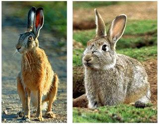 Заяц-русак и европейский дикий кролик