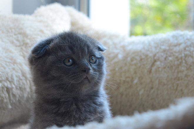 Британские вислоухие котята фото