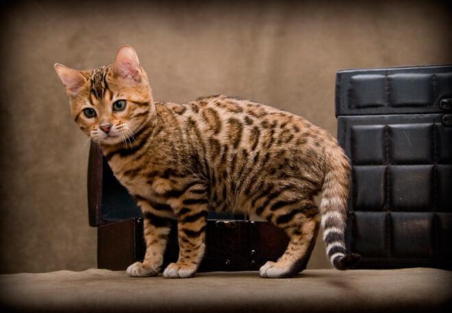 Фото бенгальских кошек