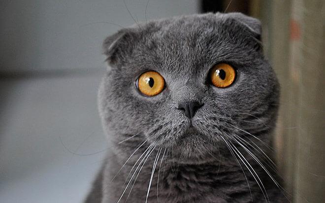 Скоттиш-страйт – фото кота