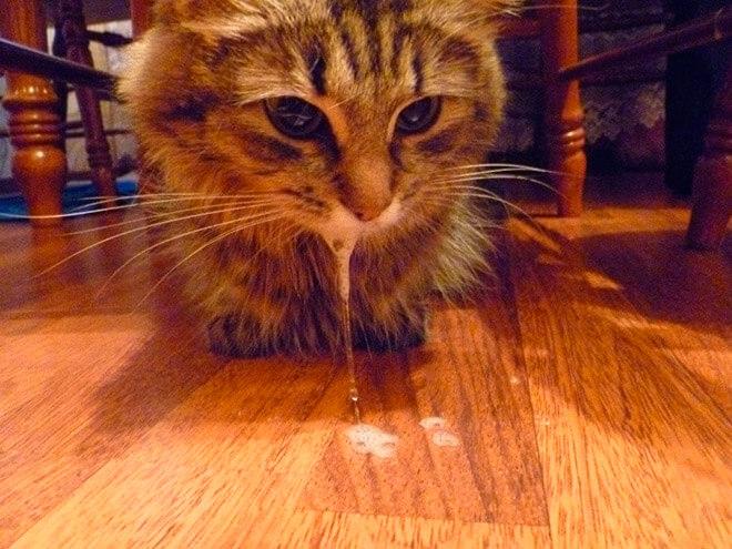 Почему кошка не ест и рвет белой пеной
