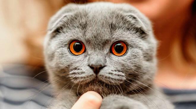 Вислоухий британский котенок