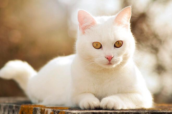 Породы белых котов
