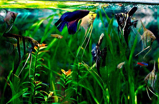 Совместимость скалярий с прочими рыбами