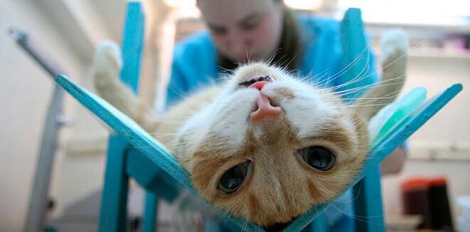 Правда о стерилизации кошек
