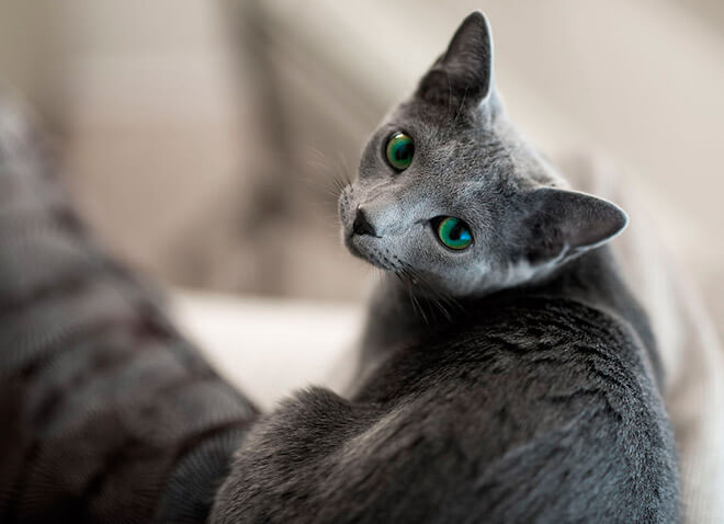 Характер русских голубых кошек