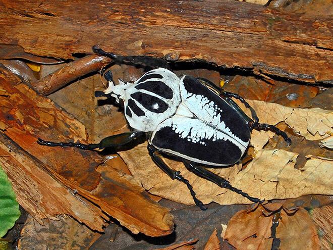 Королевский жук-голиаф