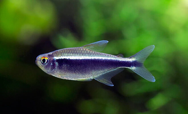 Рыбка - неон