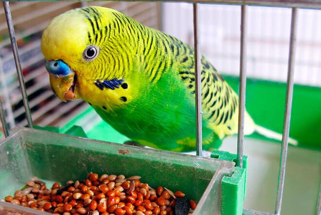 Что можно есть попугаям