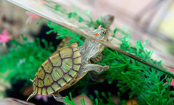 Ход за красноухой черепахой