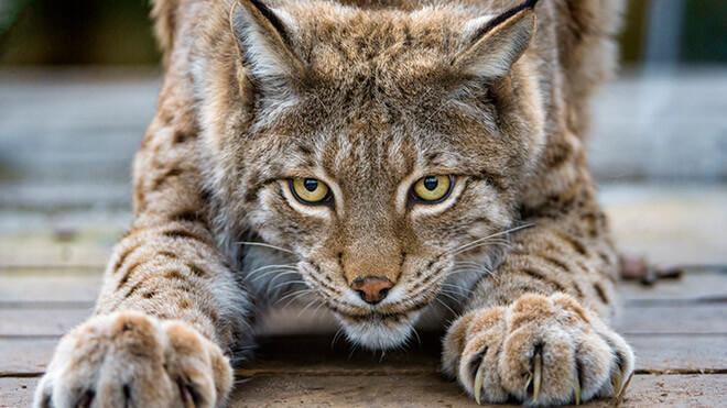 Рысь - описание хищника