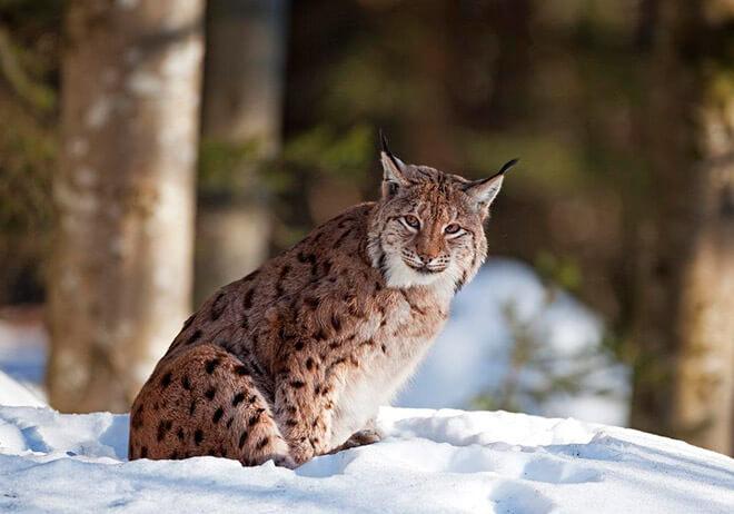 Образ жизни рыси и ее охота