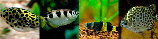 Солоноводные аквариумные рыбки
