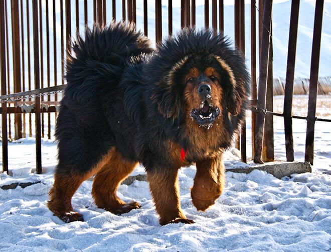 Список других собак, похожих на медвежонка