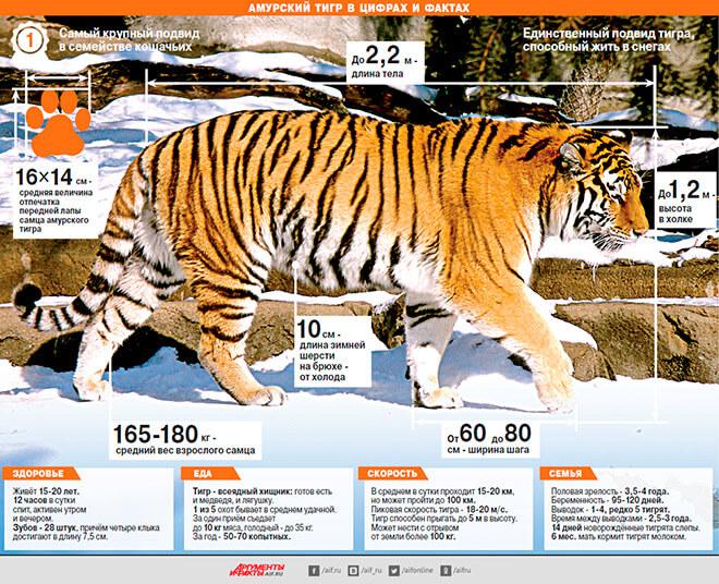 Амурский тигр факты