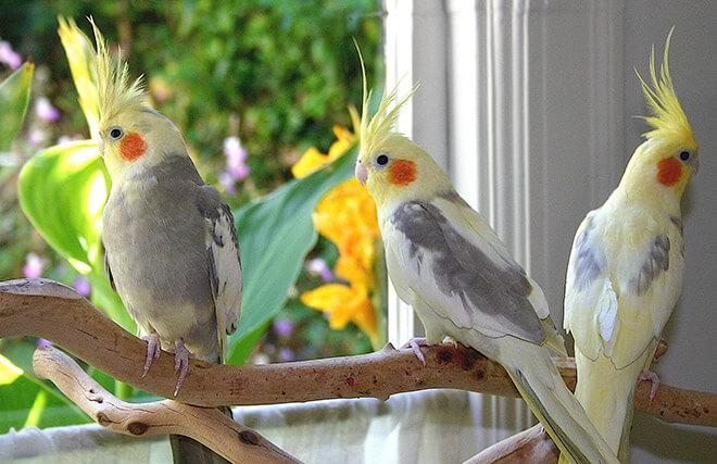 как научить попугая кореллу говорит?