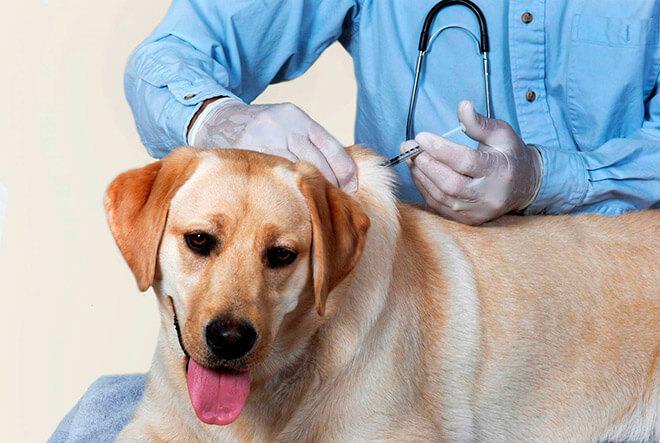 Как сделать собаке прививку?