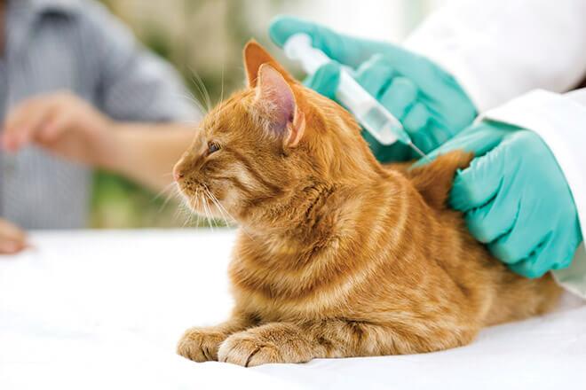 Когда и как прививать кота?