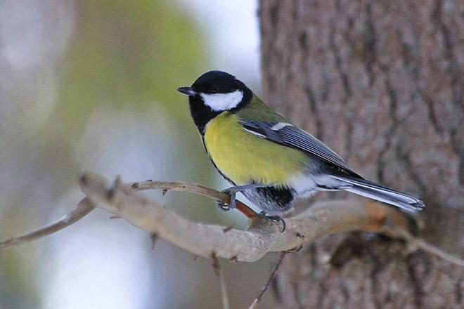 Синица, зимующая птица или перелетная