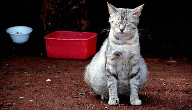 вздутия живота у кошки