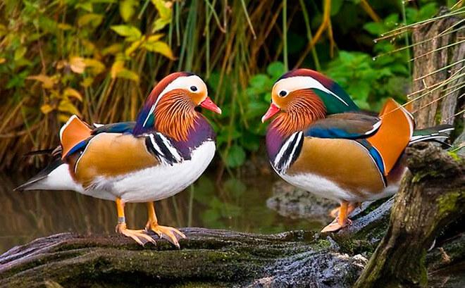 Утка мандаринка в природе описание