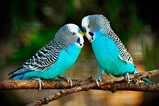 Волнистые попугаи, заболевание