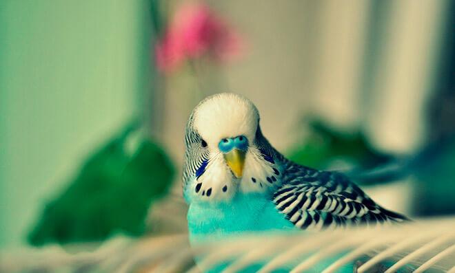Уход и содержание волнистых попугаев