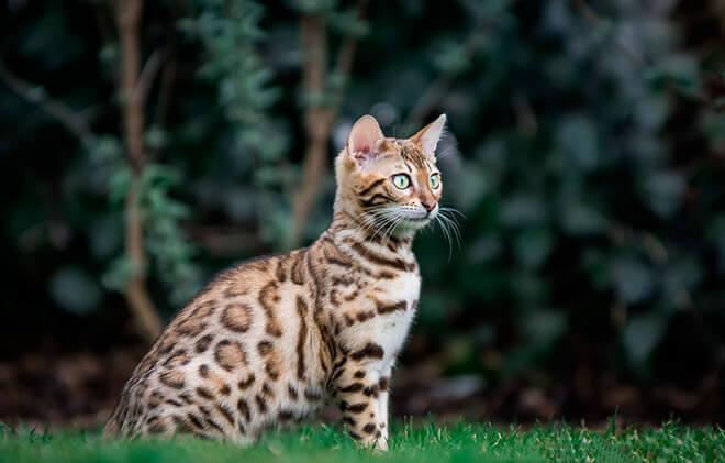 Топ кошек похожих на леопарда