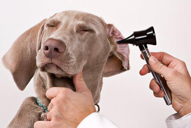Симптомы проявления грибка ушей у собак