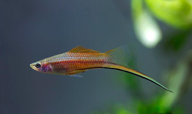Происхождение рыбы меченосец