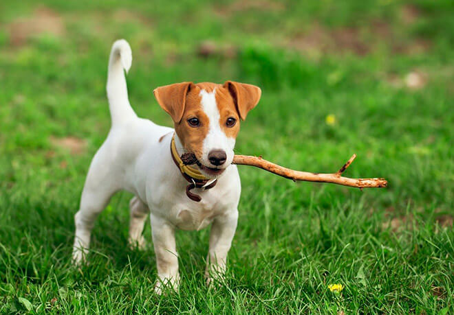 Описание породы собаки Майло