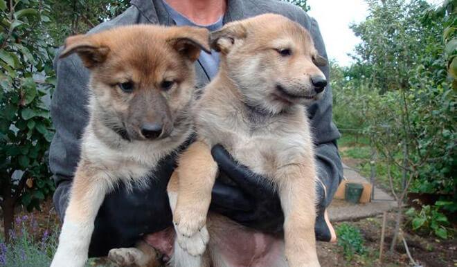 Фото щенков западносибирской лайки