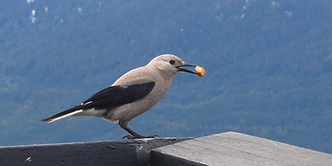 Североамериканская ореховка