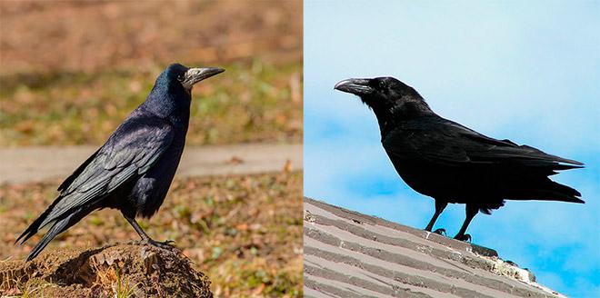 Как отличить грача от вороны?