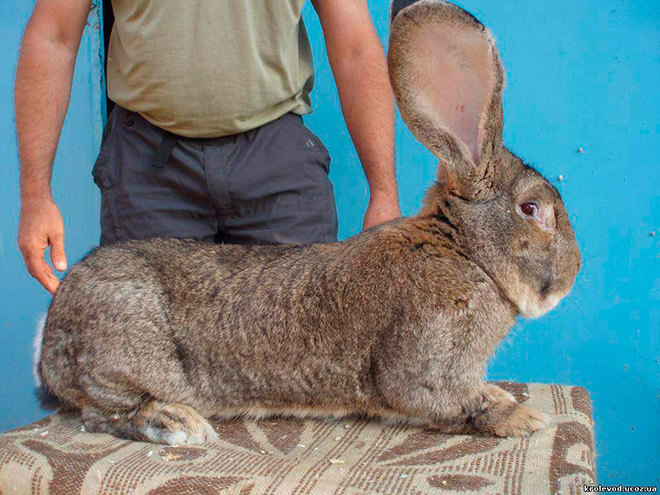 Самый большой заяц (кролик)