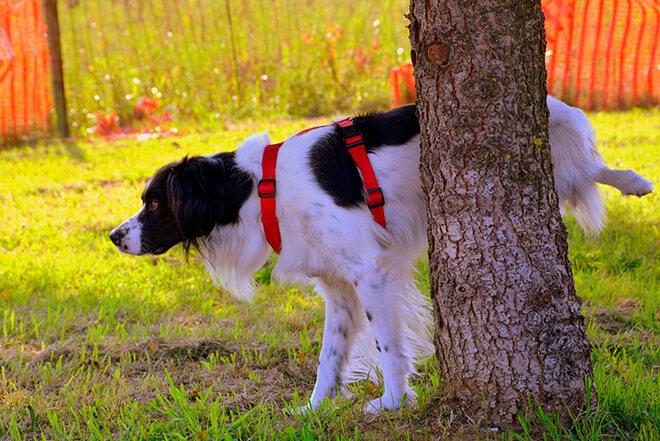 Что значить если приснилась собака которая писает?