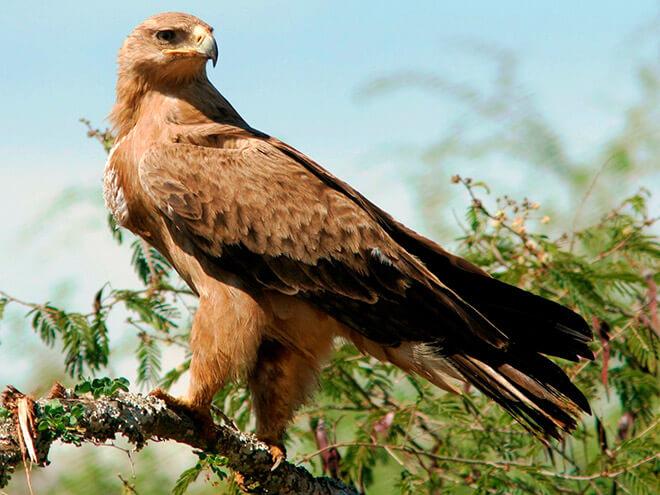 Степной орел сидит на ветви