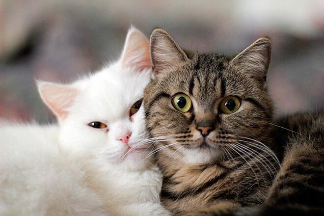 Определение пола котенка по окрасу шерсти