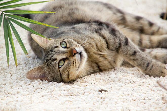 Вязка кошки: правила