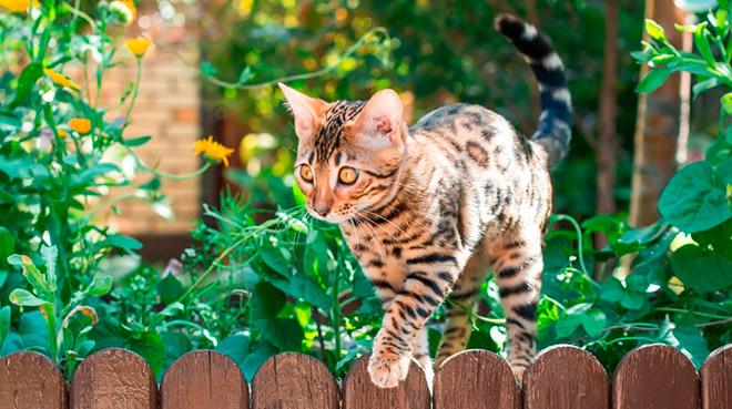 Самые популярные пятнистые породы кошек