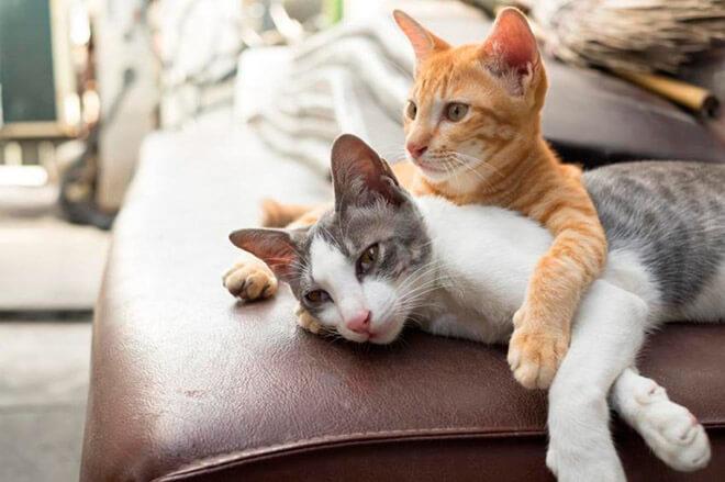 Как узнать, породистый ли котенок?