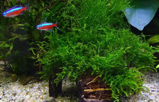 Мох яванский содержание в аквариуме