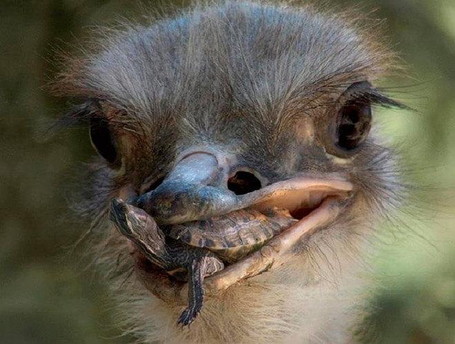Чем питаются страусы?