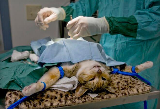Овариогистерэктомия кошки